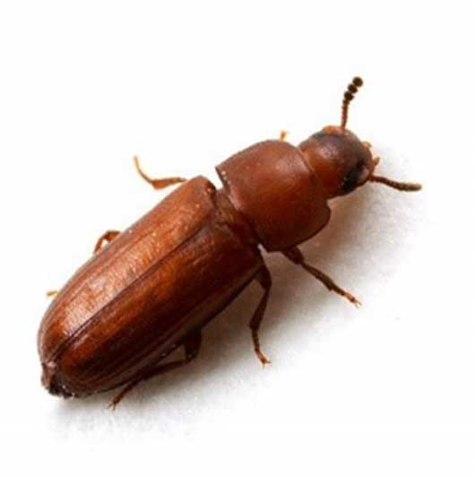 Red Rust Flour Beetle