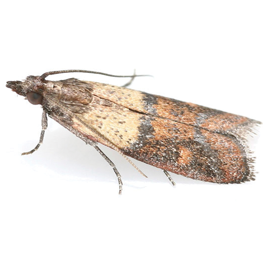 Kitchen Food Moth