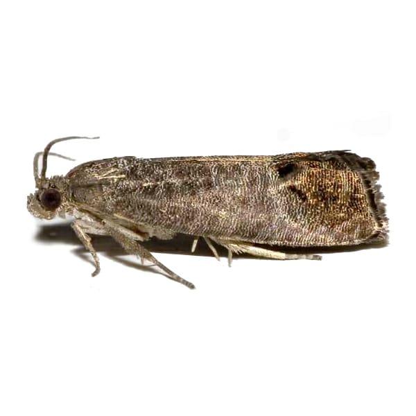 Cydia pomonella, The Codling Moth
