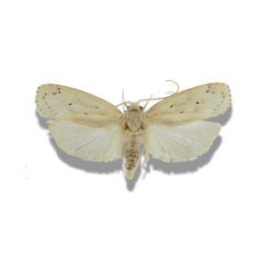 Avocado seed moth