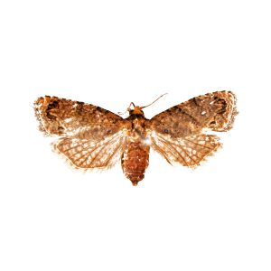 False codling moth