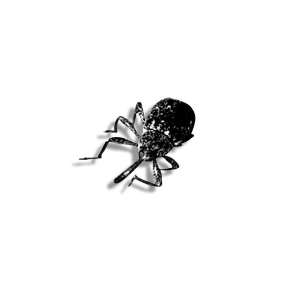 Pepper Weevil