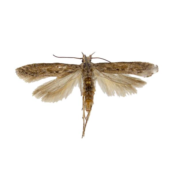 Potato tuber moth