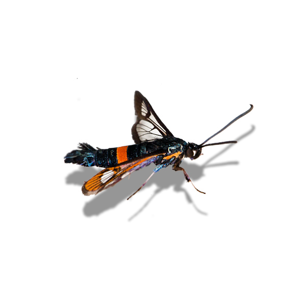 Red-belted clearwing moth