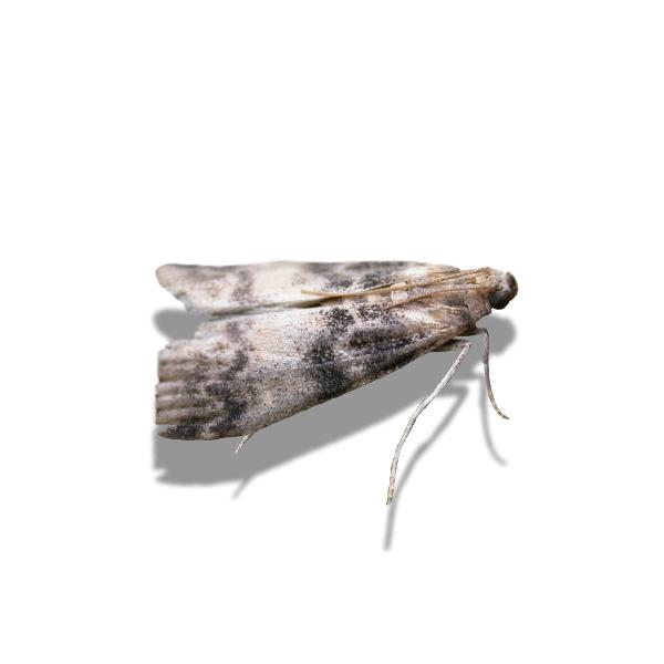 Tabby knot-horn moth