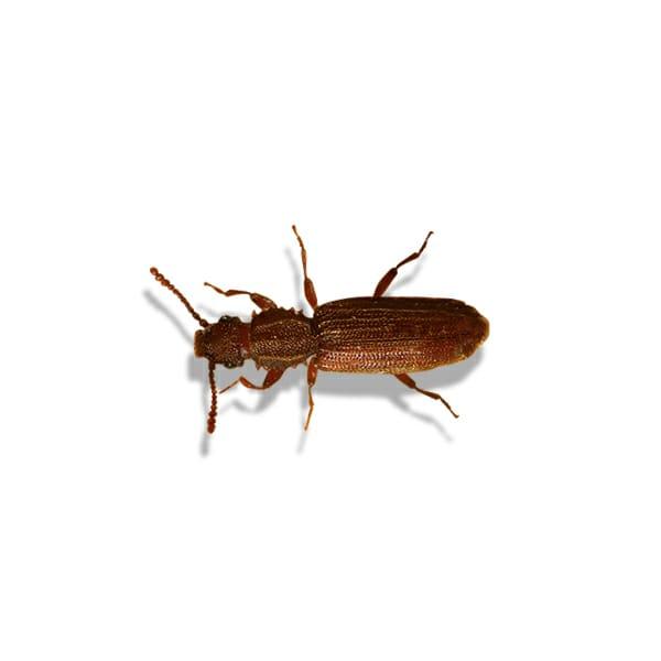 Cryptolestes ferrugineus, Flat Grain Beetle