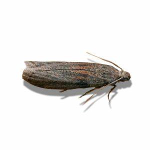 Warehouse Almond Moth