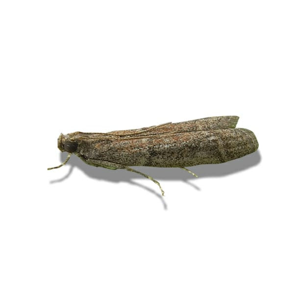 Warehouse Cocoa Moth