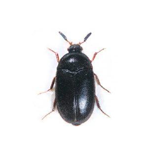 Attagenus unicolor, Black Carpet Beetle