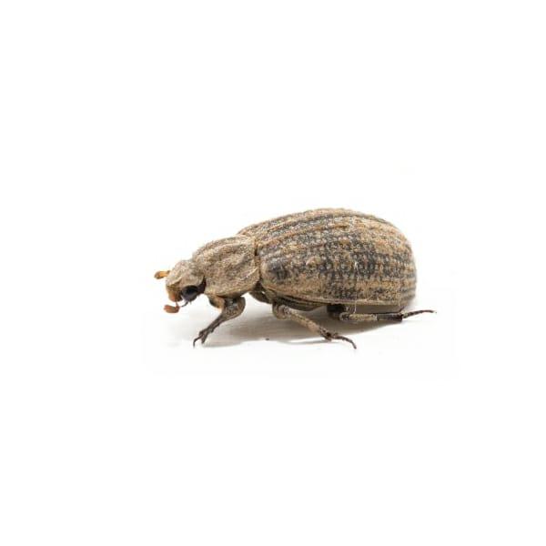 Dermestes maculatus, Hide Beetle