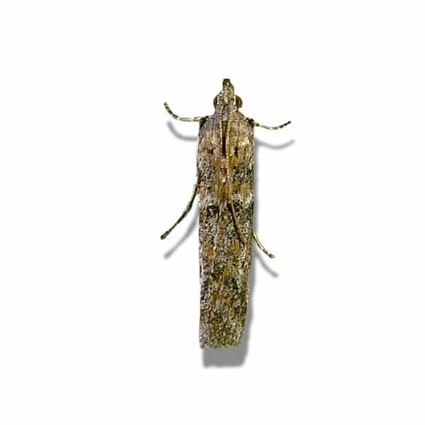 Cardra figulilella, Raisin Moth