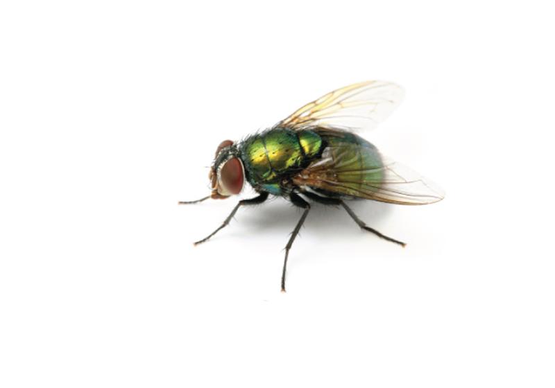 Lesser House Fly