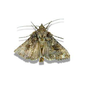 Cabbage Looper Moth