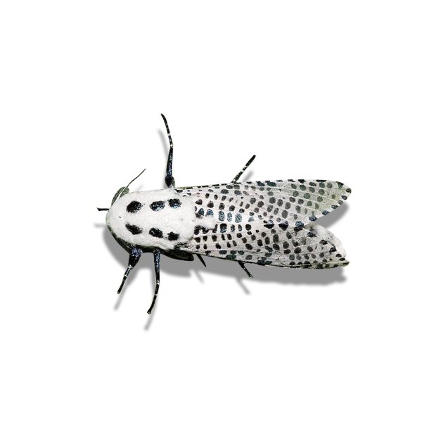 The leopard moth