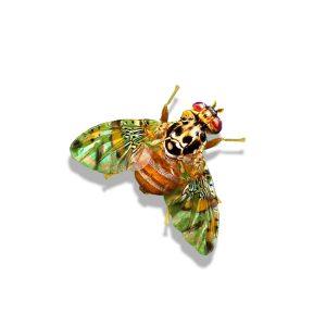 Ceratitis capitata, Mediterranean Fruit Fly