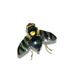 Rhagoletis cerasi, Cherry Fruit Fly